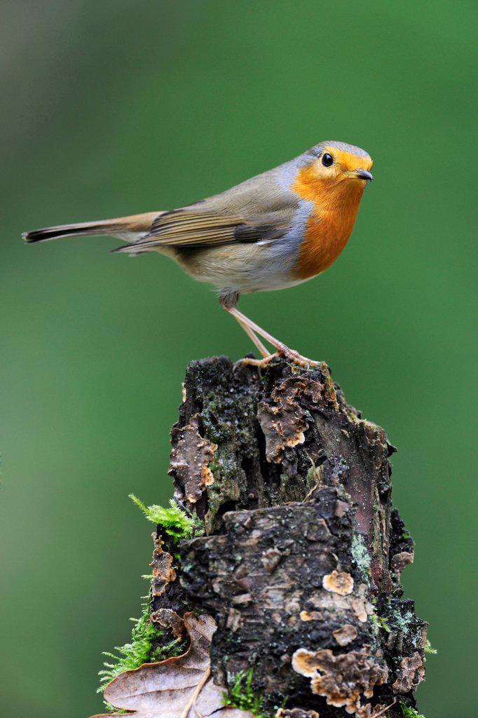 Stock Photo: 4201-83211 European Robin (Erithacus rubecula), Veluwe, Gelderland, Netherlands