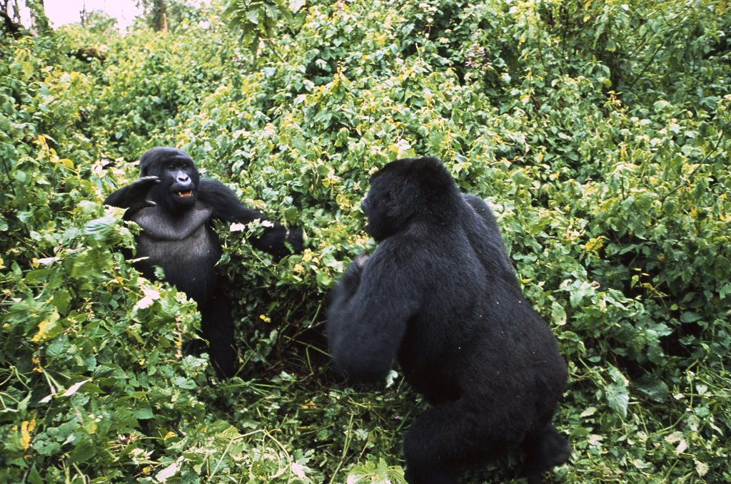 Mountain Gorilla (Gorilla gorilla beringei) males fighting, Virunga National Park, Democratic Republic of the Congo : Stock Photo