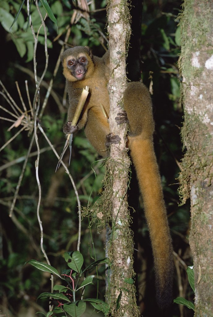 Stock Photo: 4201-8338 Golden Bamboo Lemur (Hapalemur aureus) feeding on bamboo, southeastern Madagascar