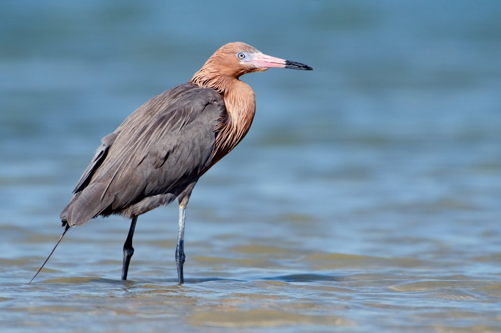 Stock Photo: 4201-83391 Reddish Egret (Egretta rufescens), Marco Island, Florida