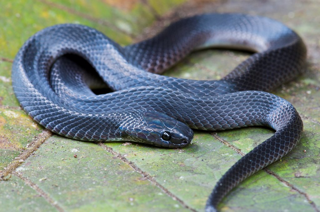Hallowell's Coffee Snake (Ninia atrata), Mindo, Ecuador : Stock Photo