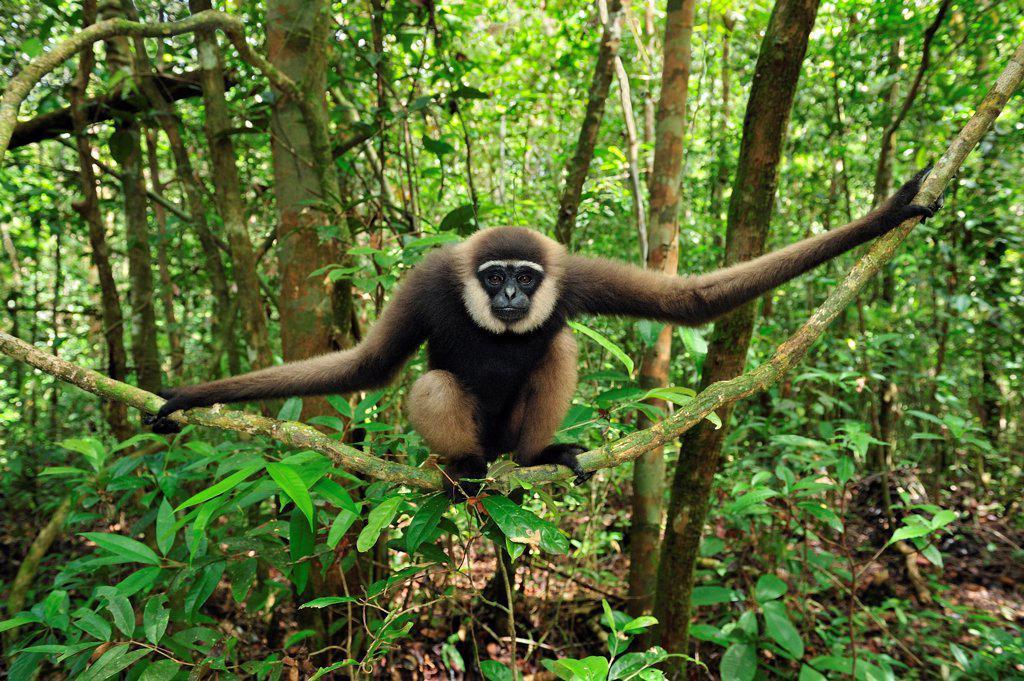 Agile Gibbon (Hylobates agilis) sitting on liana, Tanjung Puting National Park, Borneo, Indonesia : Stock Photo