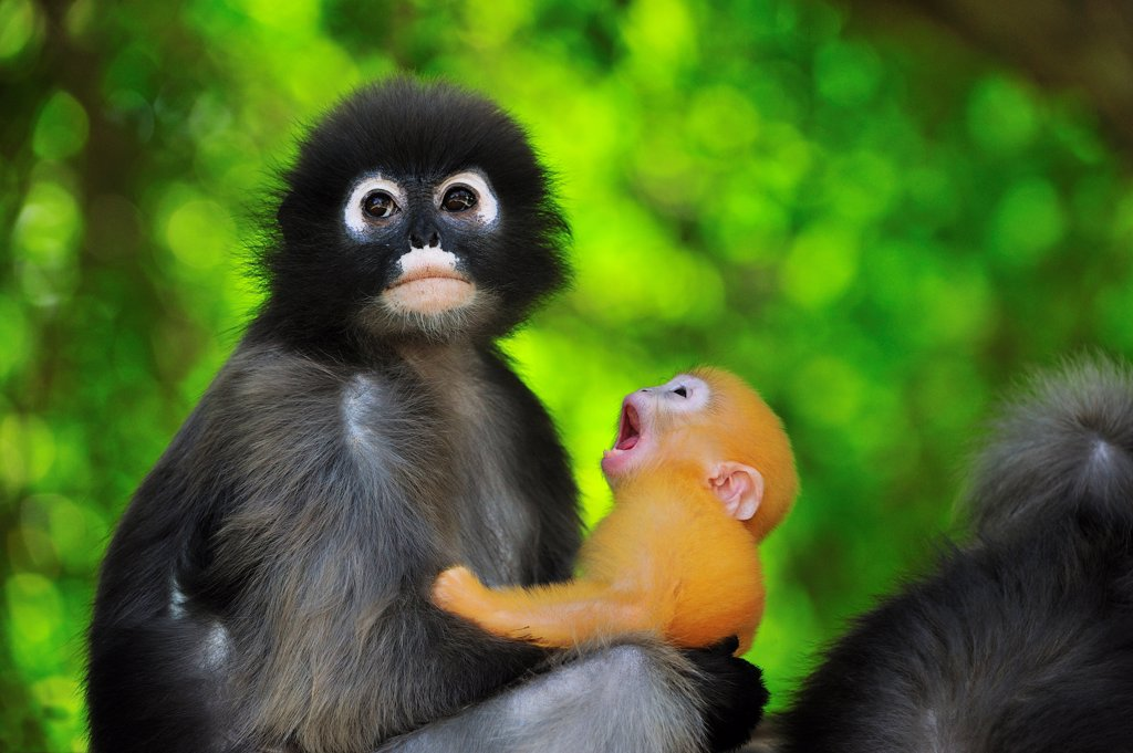 Dusky Leaf Monkey (Trachypithecus obscurus) mother with yawning baby, Khao Sam Roi Yot National Park, Thailand : Stock Photo