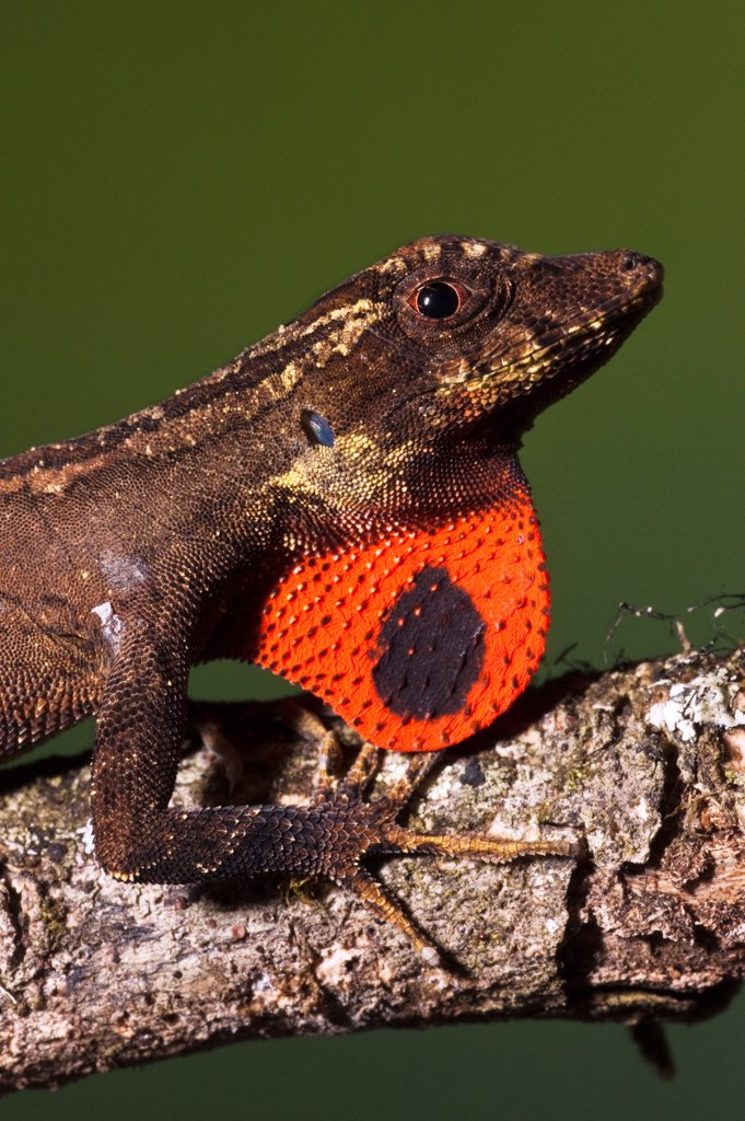 Stock Photo: 4201-84328 Anolis Lizard (Anolis sp) male extending dewlap, northwest Ecuador