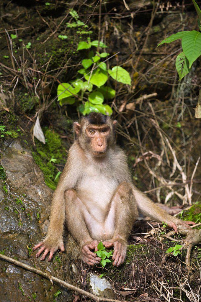 Stock Photo: 4201-84513 Pig-tailed Macaque (Macaca nemestrina), northern Sumatra, Indonesia