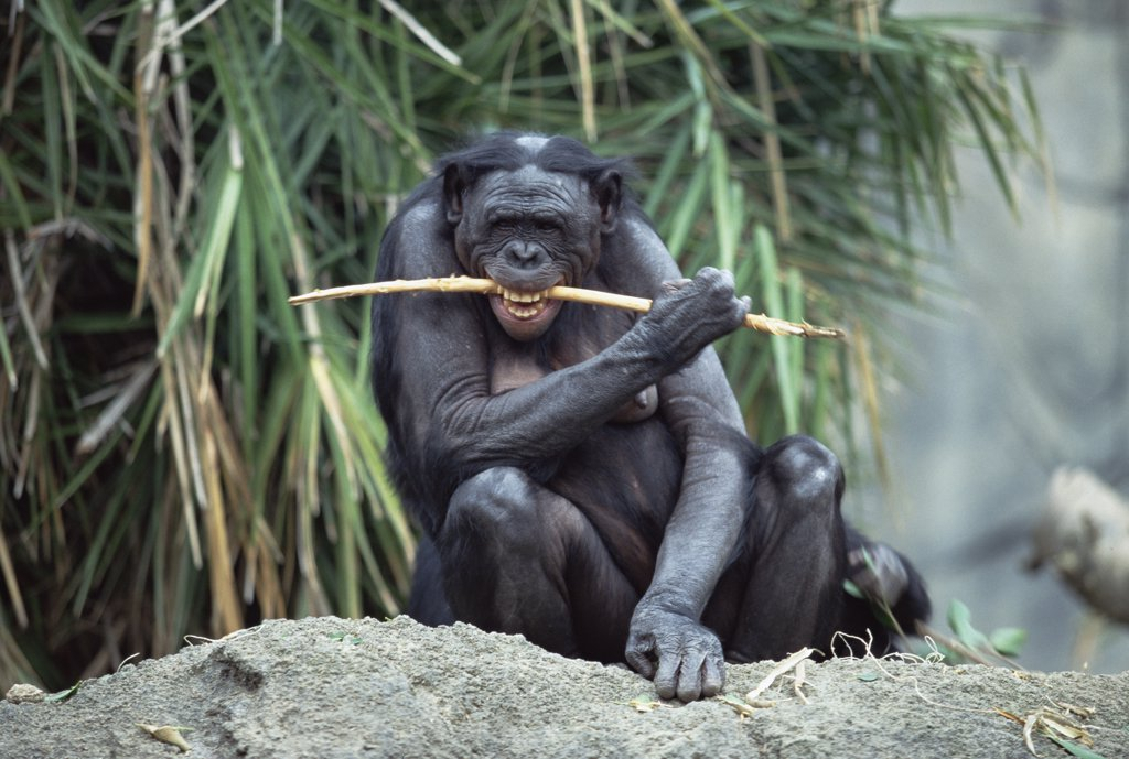 Stock Photo: 4201-8452 Bonobo (Pan paniscus) chewing on stick