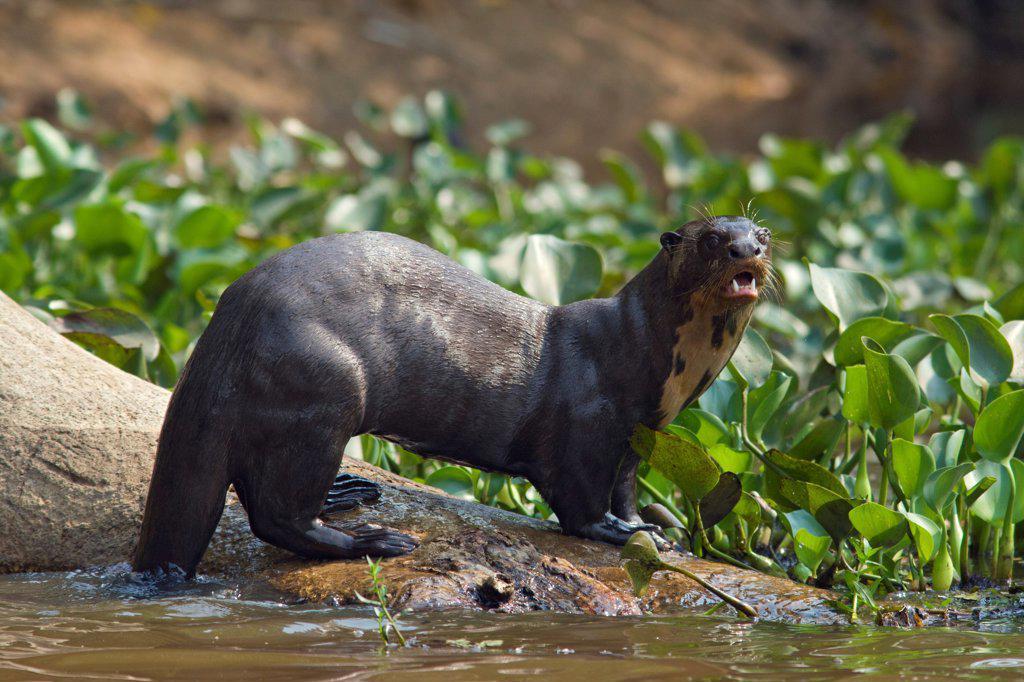 Stock Photo: 4201-84777 Giant River Otter (Pteronura brasiliensis), Pantanal, Brazil