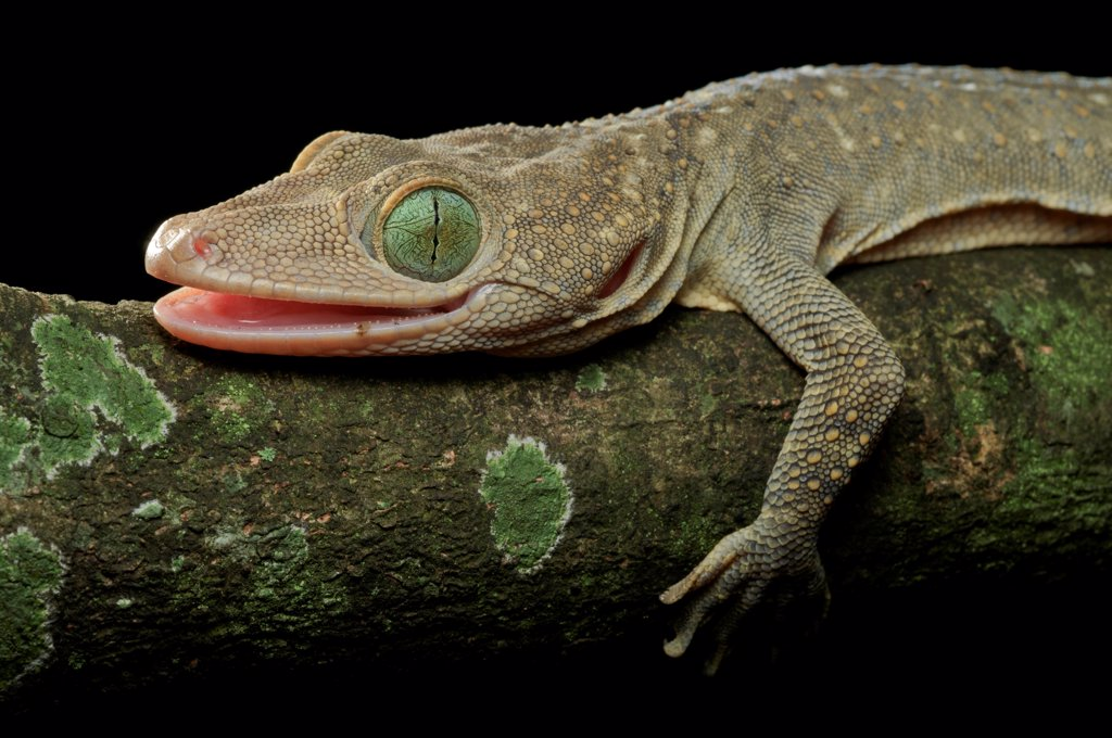 Stock Photo: 4201-85006 Green-eyed Gecko (Gekko smithi) showing vertical pupil, Jakarta, Indonesia