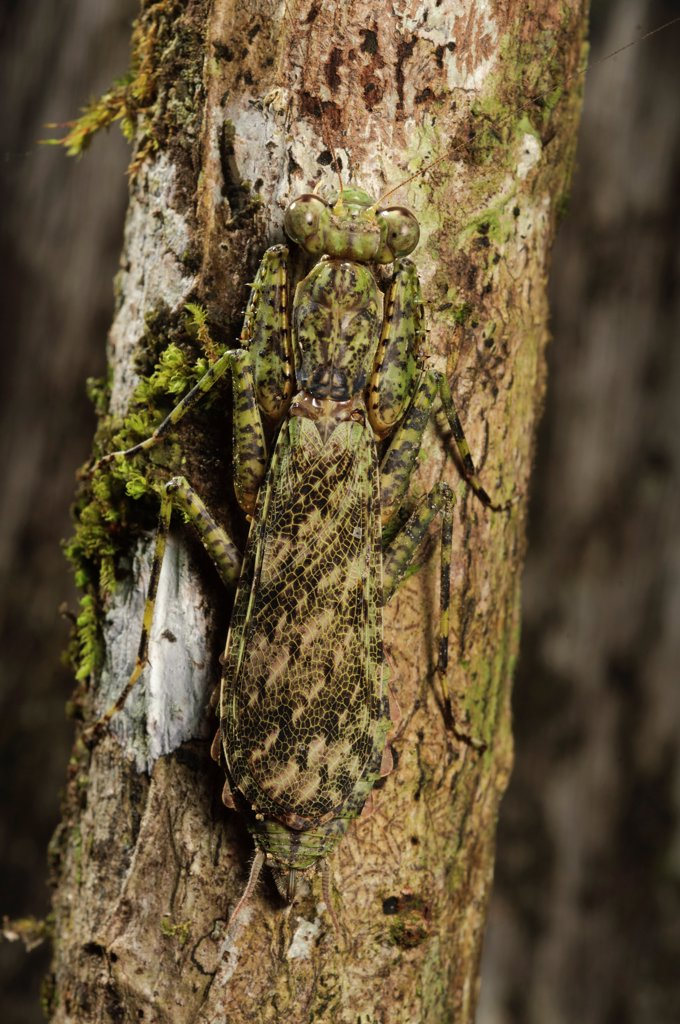Mantid (Humbertiella sp) camouflaged on branch, Danum Valley Conservation Area, Malaysia : Stock Photo