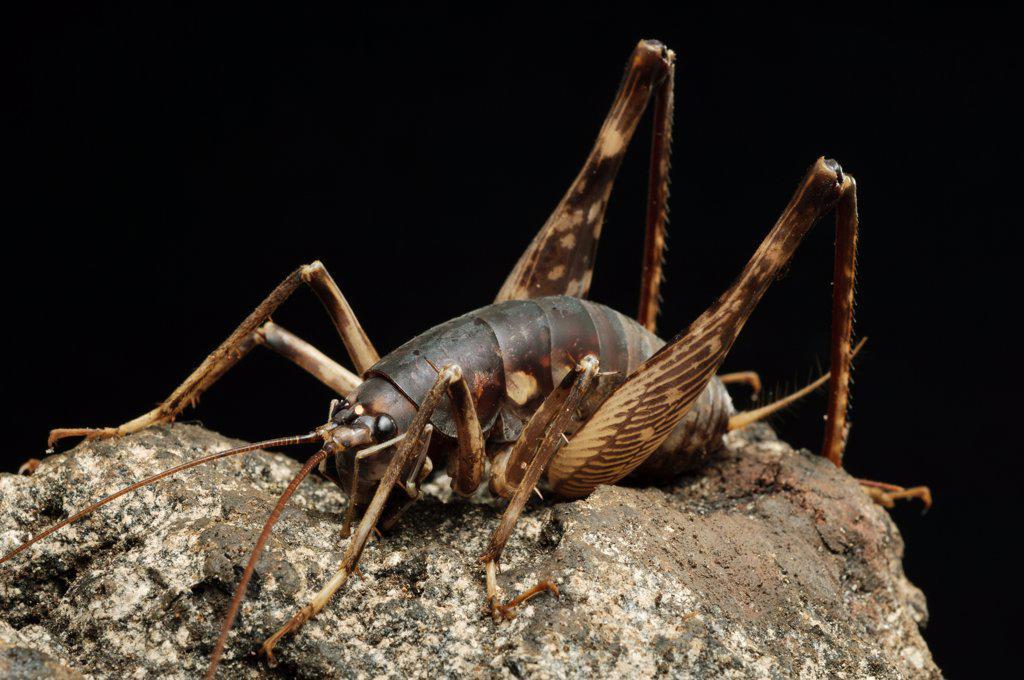 Cave Cricket (Rhaphidophora oophaga), Bukit Sarang Conservation Area, Bintulu, Borneo, Malaysia : Stock Photo