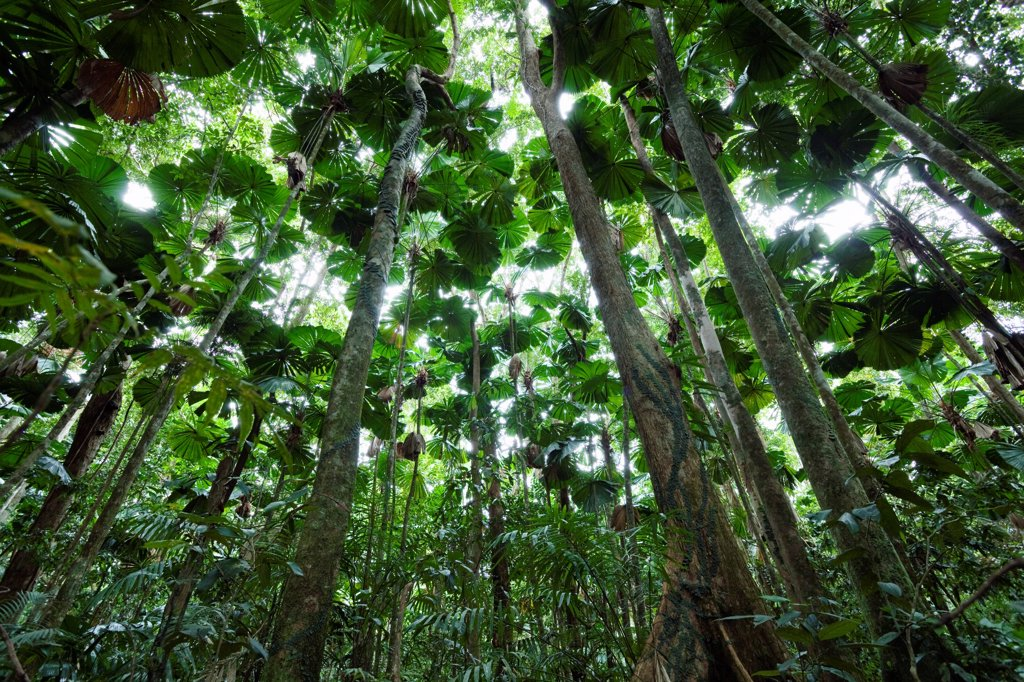 Stock Photo: 4201-85250 Licuala Fan Palm (Licuala ramsayi) forest, Daintree National Park, North Queensland, Queensland, Australia