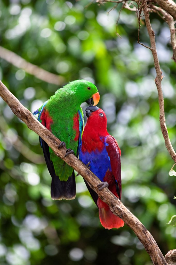 Eclectus Parrot (Eclectus roratus) pair courting, female on right and male on left, Cape York Peninsula, North Queensland, Queensland, Australia : Stock Photo