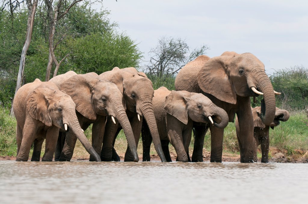 African Elephant (Loxodonta africana) herd drinking, Tumaren Ranch, Kenya : Stock Photo