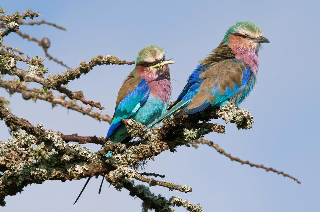 Stock Photo: 4201-85739 Lilac-breasted Roller (Coracias caudata) pair, Ol Pejeta Conservancy, Kenya
