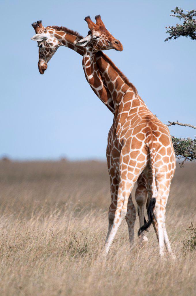 Reticulated Giraffe (Giraffa camelopardalis reticulata) males necking, Ol Pejeta Conservancy, Kenya : Stock Photo