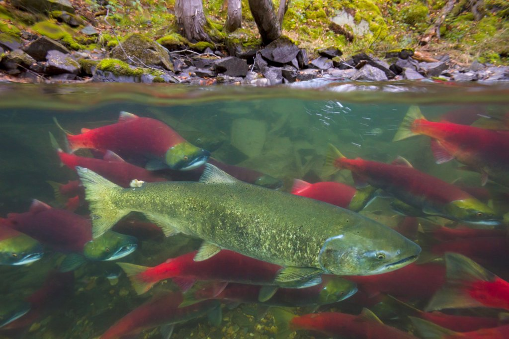 Stock Photo: 4201-85937 Sockeye Salmon (Oncorhynchus nerka) group and Chinook Salmon (Oncorhynchus tshawytscha) swimming upstream between forested banks of Adams River during spawning run, Roderick Haig-Brown Provincial Park, British Columbia, Canada
