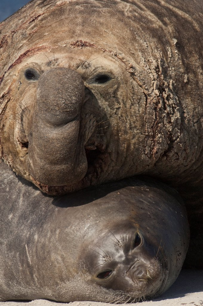 Southern Elephant Seal (Mirounga leonina) male attempting to mate with female, Sea Lion Island, Falkland Islands : Stock Photo