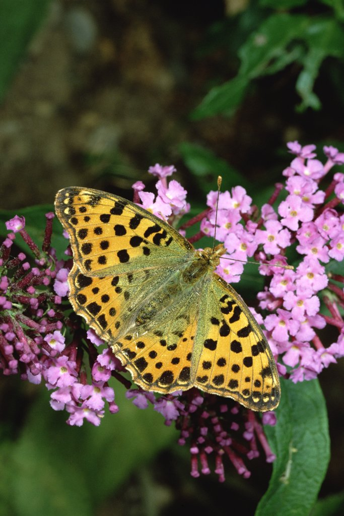 Queen of Spain Fritillary (Issoria lathonia) butterfly on flower, Europe : Stock Photo