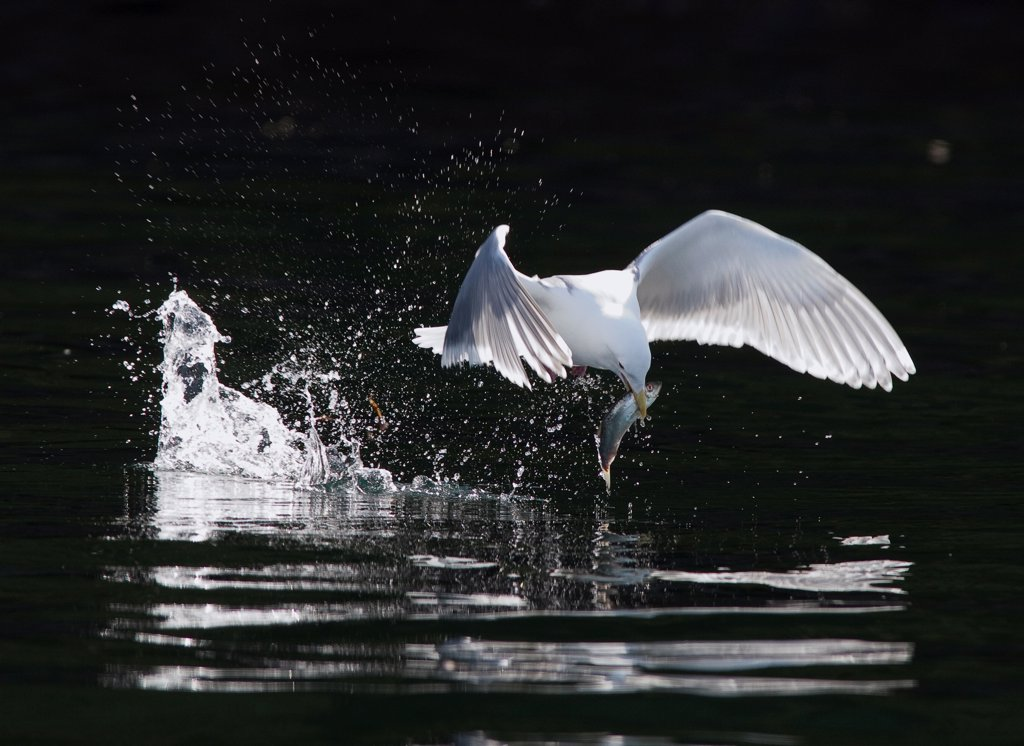 Glaucous-winged Gull (Larus glaucescens) catching herring, Craig, Alaska : Stock Photo