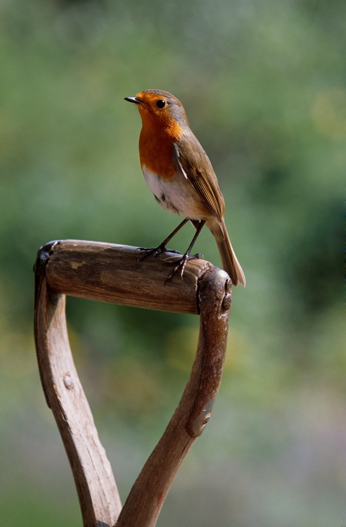 Stock Photo: 4201-86588 European Robin (Erithacus rubecula) on spade handle