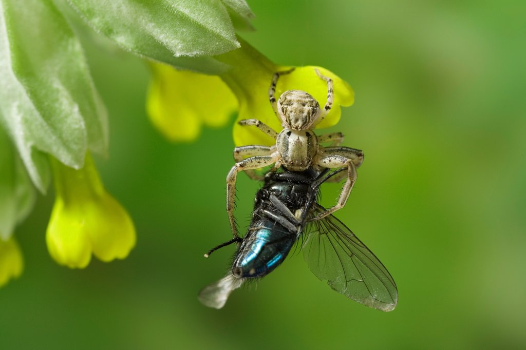 Stock Photo: 4201-86897 Crab Spider (Xysticus cristatus) feeding on Blue Bottle Fly (Calliphoridae)
