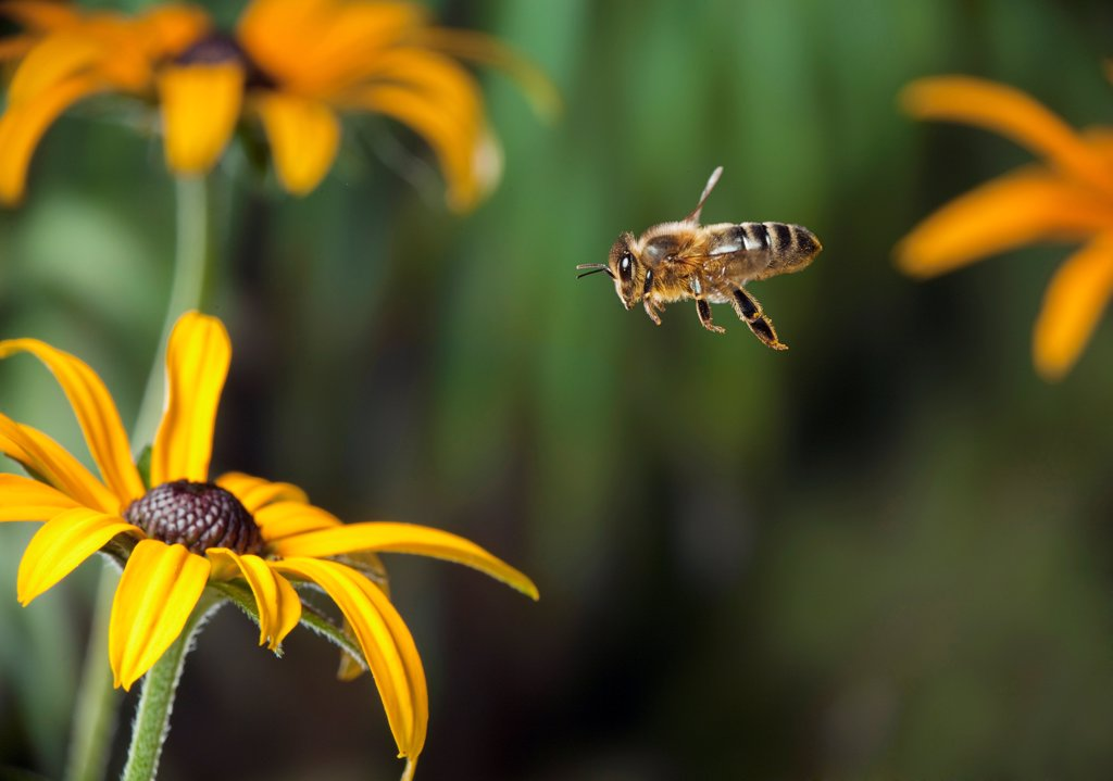 Stock Photo: 4201-87119 Honey Bee (Apis mellifera) flying