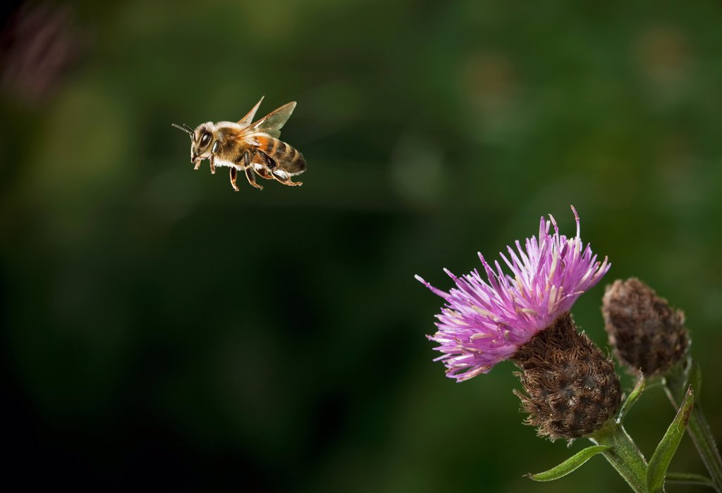 Stock Photo: 4201-87120 Honey Bee (Apis mellifera) flying