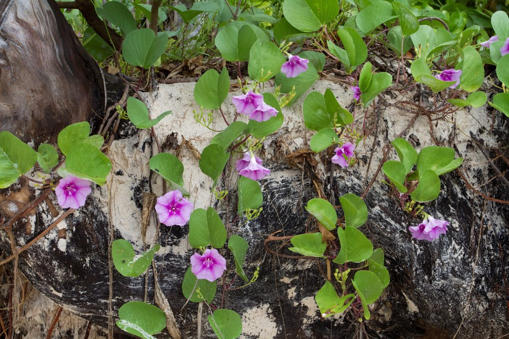 Stock Photo: 4201-87175 Beach Morning Glory (Ipomoea pes-caprae) flowering, Seychelles