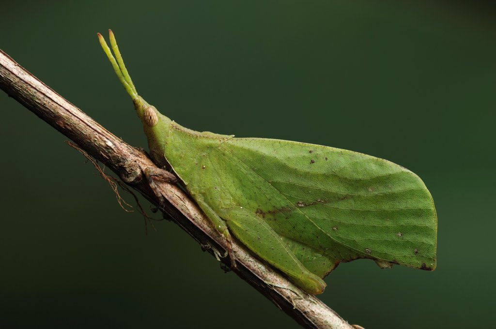 Grasshopper (Systella sp) mimicking leaf, Bako National Park, Sarawak, Borneo, Malaysia : Stock Photo