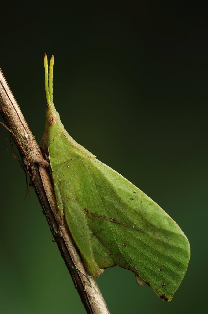 Stock Photo: 4201-87335 Grasshopper (Systella sp) mimicking leaf, Bako National Park, Sarawak, Borneo, Malaysia