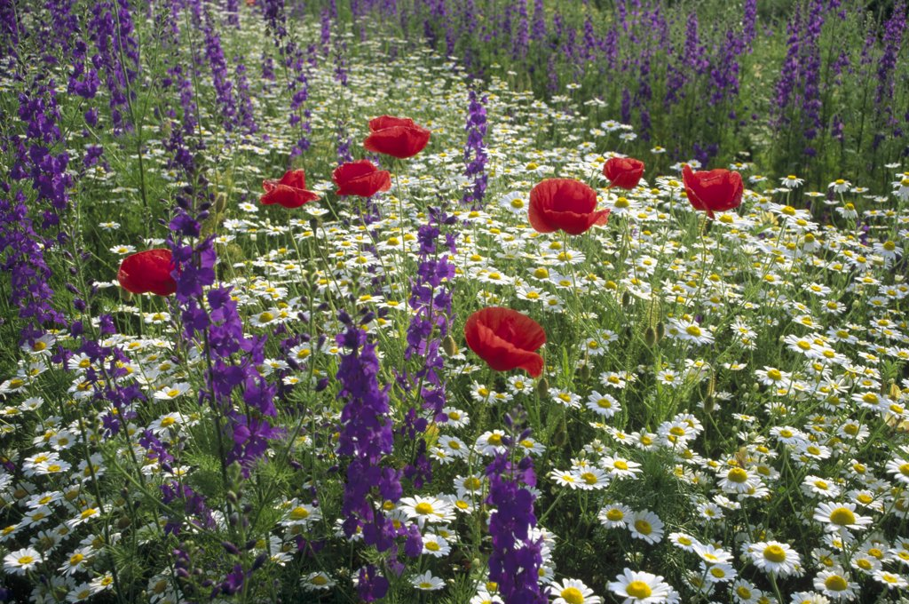 Stock Photo: 4201-8735 Meadow with flowers including Delphinium, Red Poppies and Daisies, Hungary
