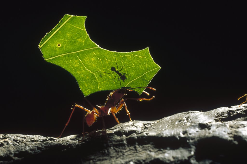 Leafcutter Ant (Attini sp) carrying leaf piece back to nest with smaller ant riding on leaf, small ant defends larger worker from parasitic flies, Honduras : Stock Photo