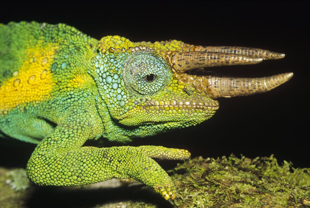 Stock Photo: 4201-8773 Jackson's Chameleon (Chamaeleo jacksonii) male portrait, east Africa