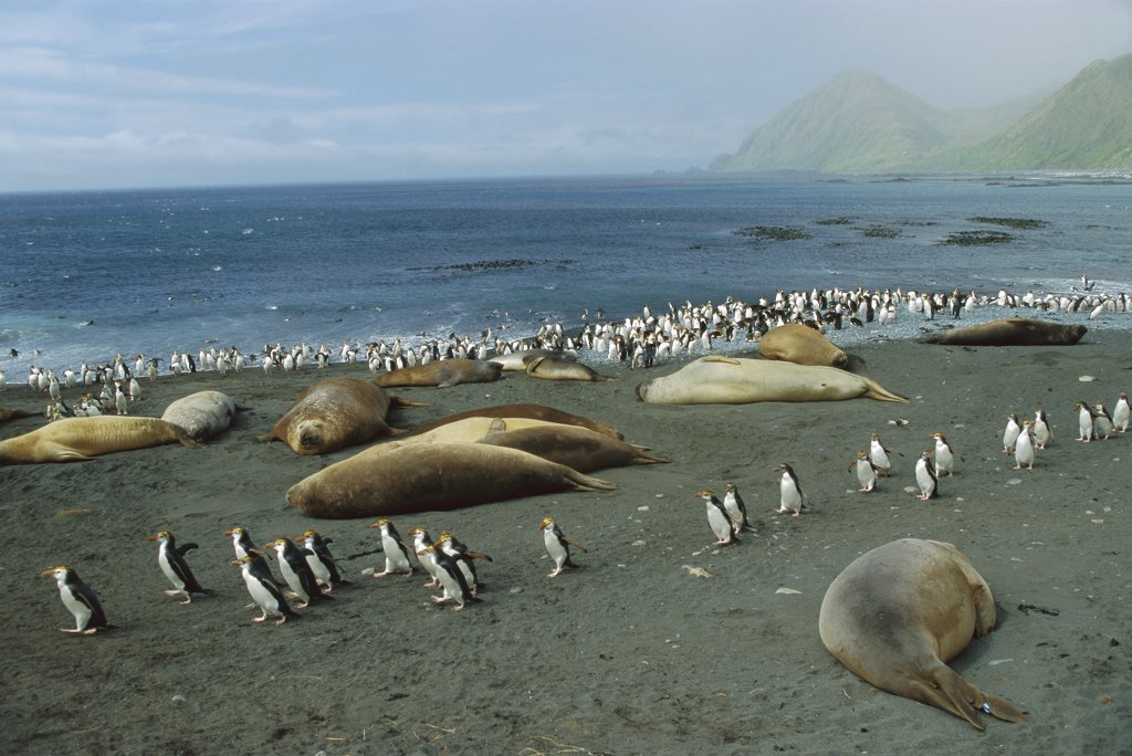 Royal Penguin (Eudyptes schlegeli) group and Southern Elephant Seals (Mirounga leonina) on beach, Macquarie Island, Australia : Stock Photo