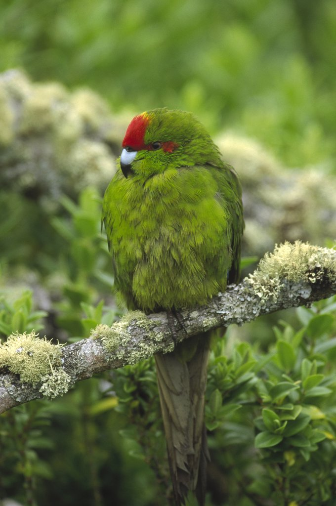 Stock Photo: 4201-8851 Green-cheeked Amazon Parrot (Amazona viridigenalis) perching on branch, Enderby Island, Auckland Islands, New Zealand