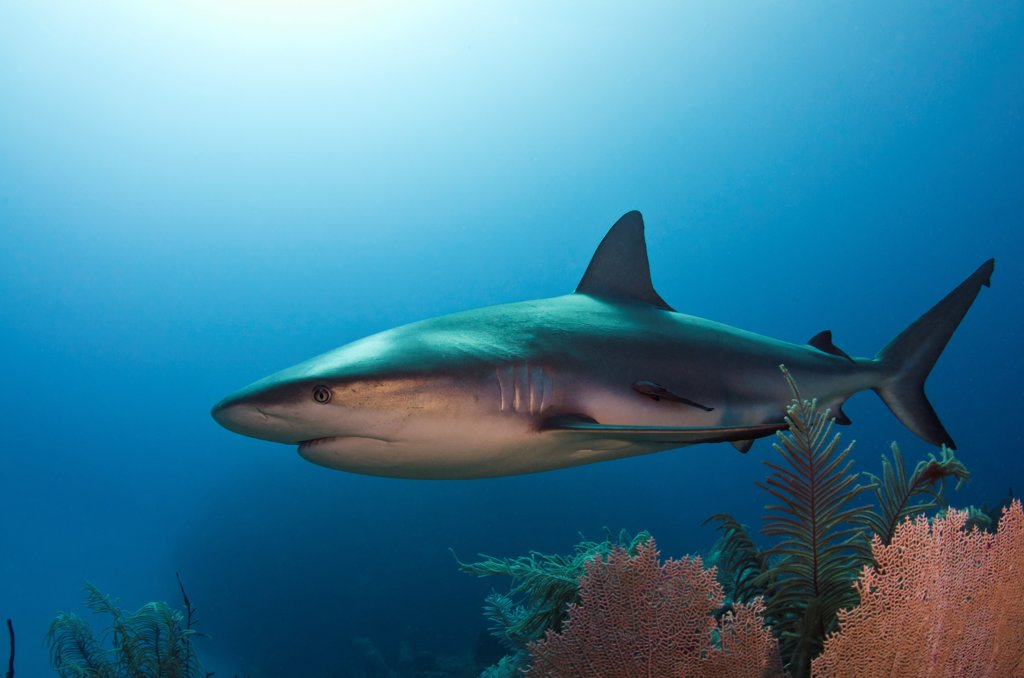 Caribbean Reef Shark (Carcharhinus perezii) swimming over coral reef, Jardines de la Reina National Park, Cuba : Stock Photo