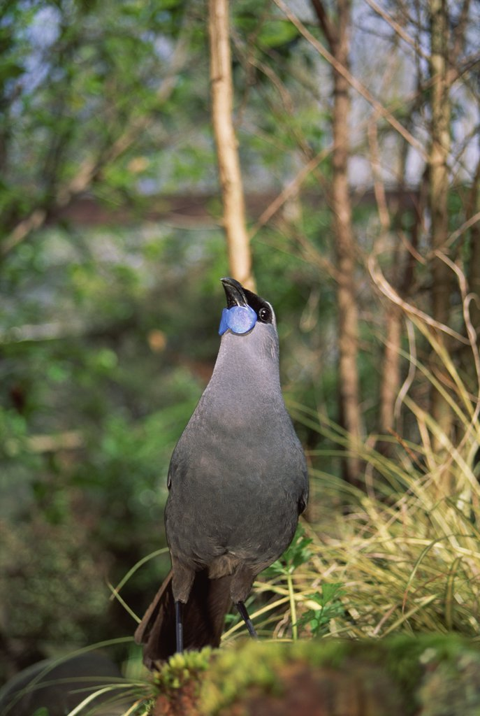 Stock Photo: 4201-896 North Island Kokako (Callaeas cinerea wilsoni) endemic plant eater, forest to canopy, threatened by introduced predators, Otorohanga Breeding Center, New Zealand