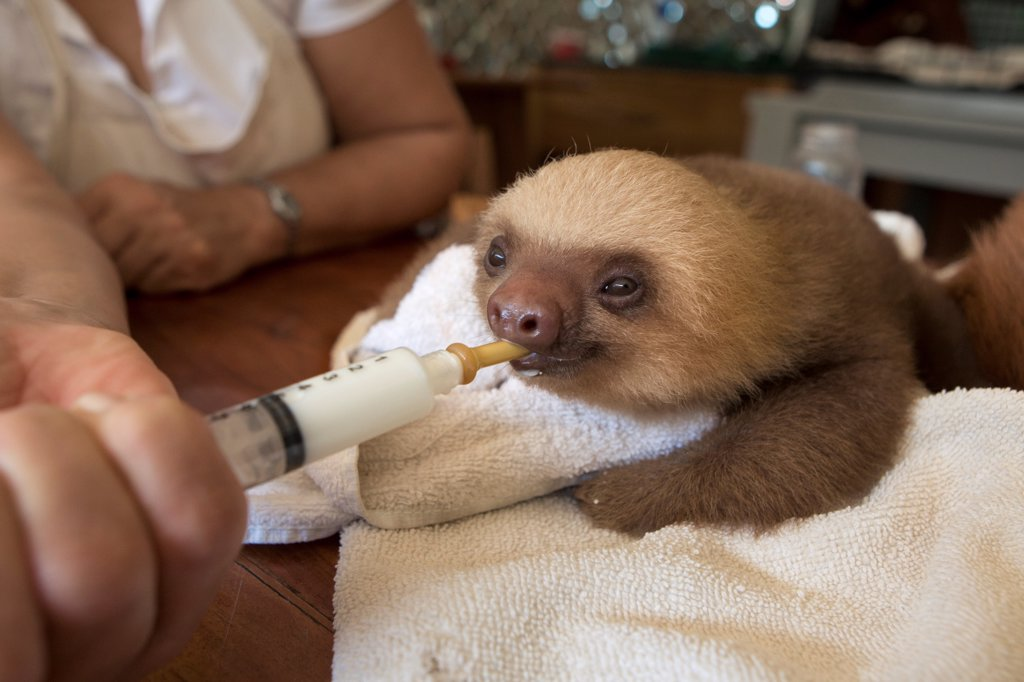 Stock Photo: 4201-89670 Hoffmann's Two-toed Sloth (Choloepus hoffmanni) orphaned baby bottle-feeding, Aviarios Sloth Sanctuary, Costa Rica
