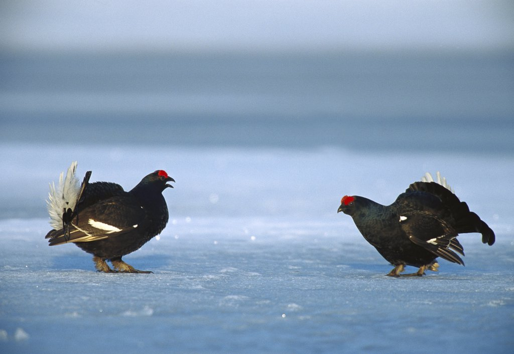 Stock Photo: 4201-9002 Black Grouse (Tetrao tetrix) two males in courtship display on snowy ground, Sweden