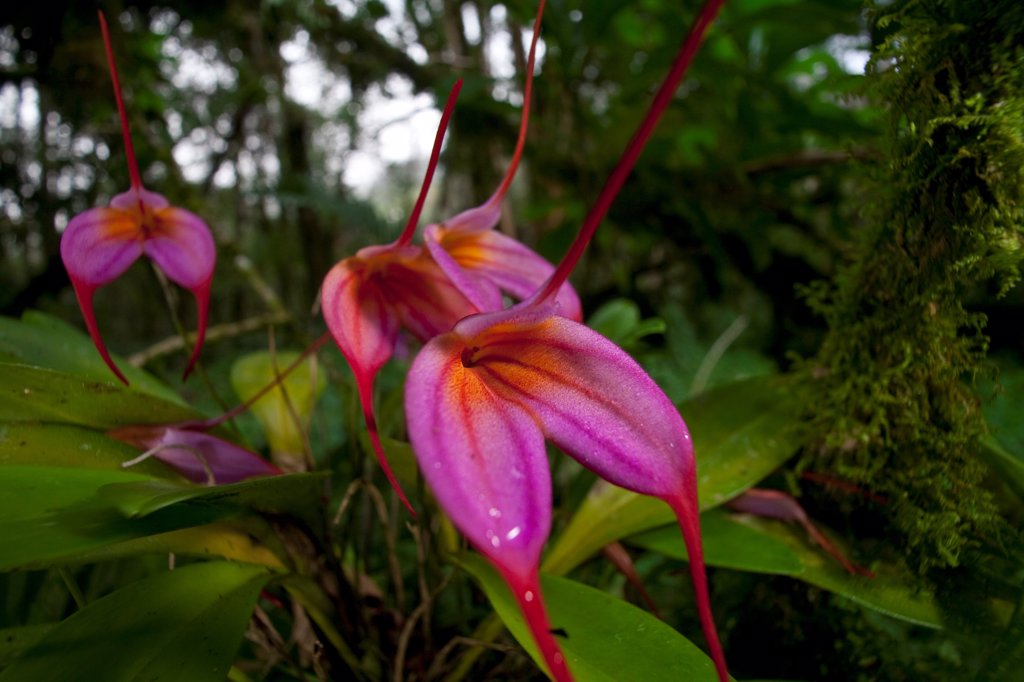 Stock Photo: 4201-90564 Orchid (Masdevallia sp) flowers in cloud forest, Finca Dracula Orchid Sanctuary, western Panama