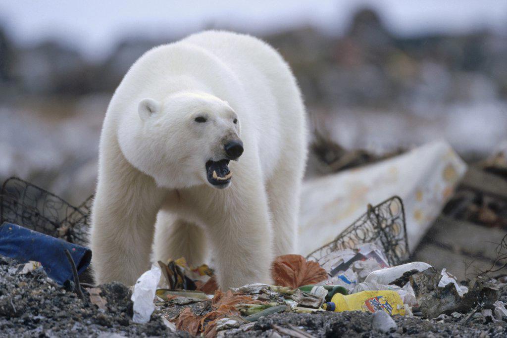 Polar Bear (Ursus maritimus) scavenging in garbage dump, Churchill, Manitoba, Canada : Stock Photo