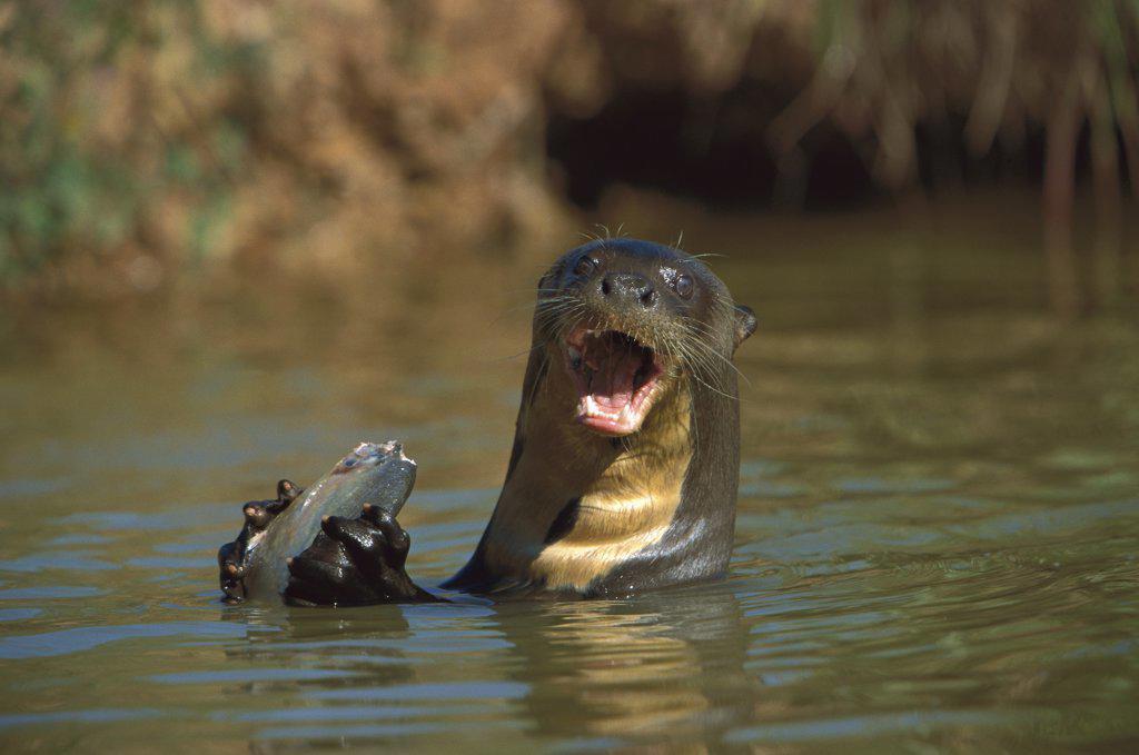 Stock Photo: 4201-9104 Giant River Otter (Pteronura brasiliensis) eating Blacktail Piranha (Pygocentrus piraya), Pantanal, Brazil