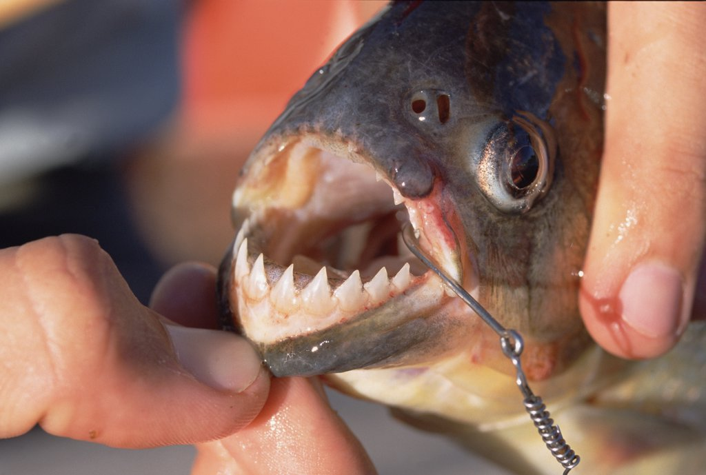 Stock Photo: 4201-9106 Blacktail Piranha (Pygocentrus piraya) teeth visible, Pantanal, Brazil