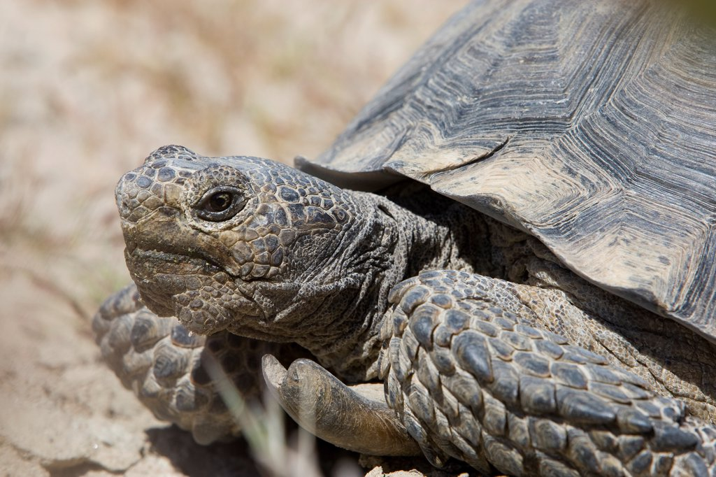 Desert Tortoise (Gopherus agassizii) male, Rainbow Basin Natural Area, Mojave Desert, Barstow, San Bernadino County, California : Stock Photo