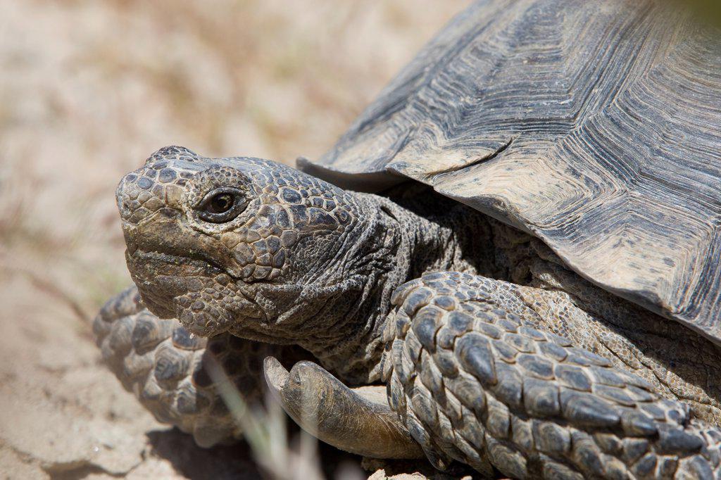 Stock Photo: 4201-91445 Desert Tortoise (Gopherus agassizii) male, Rainbow Basin Natural Area, Mojave Desert, Barstow, San Bernadino County, California