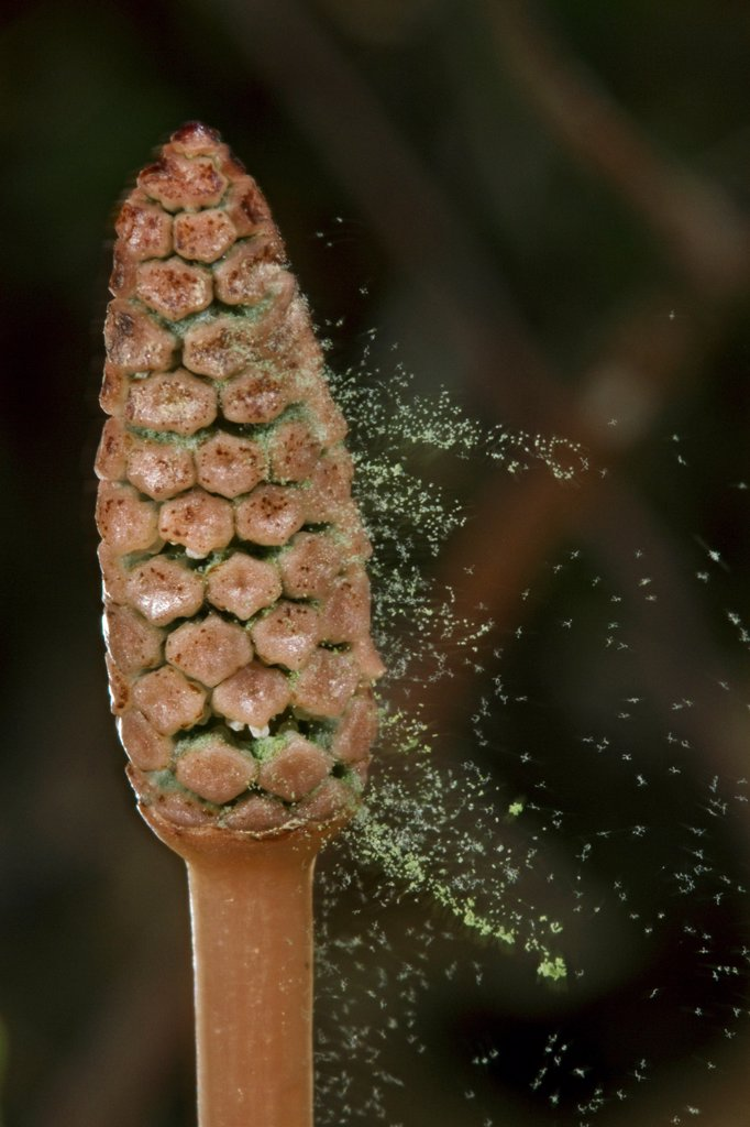 Stock Photo: 4201-91844 Field Horsetail (Equisetum arvense) releasing sporophytes, Estabrook Woods, Massachusetts