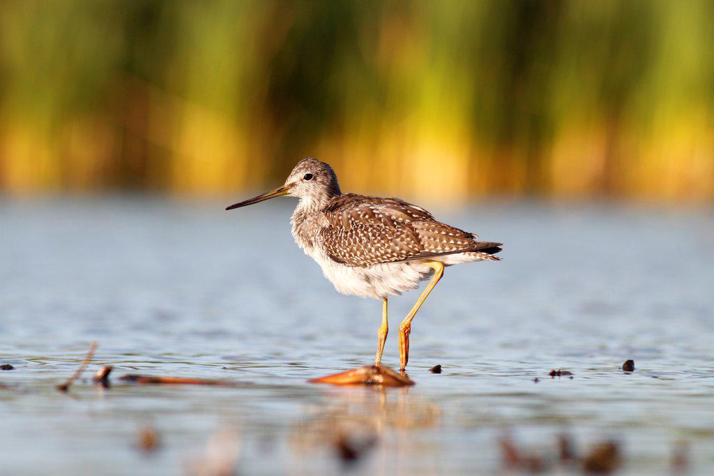 Stock Photo: 4201-92196 Greater Yellowlegs (Tringa melanoleuca), Amherst Point Federal Migratory Bird Sanctuary, Nova Scotia, Canada