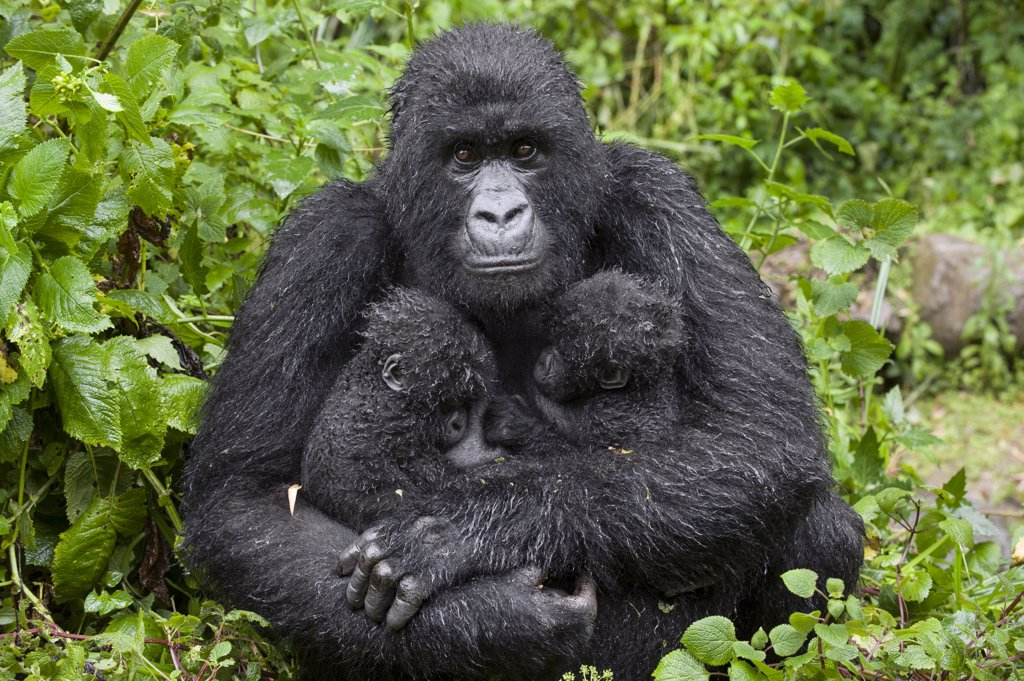 Mountain Gorilla (Gorilla gorilla beringei) mother holding five month old twin babies, Parc National des Volcans, Rwanda : Stock Photo