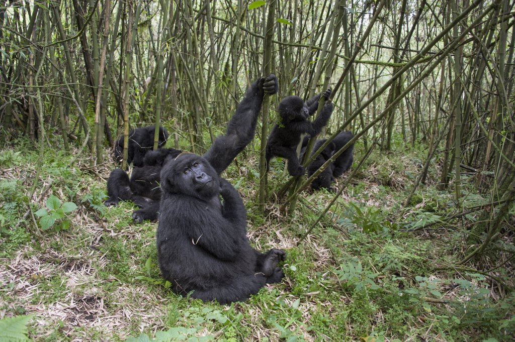 Stock Photo: 4201-92892 Mountain Gorilla (Gorilla gorilla beringei) female with young and juveniles playing, Parc National des Volcans, Rwanda