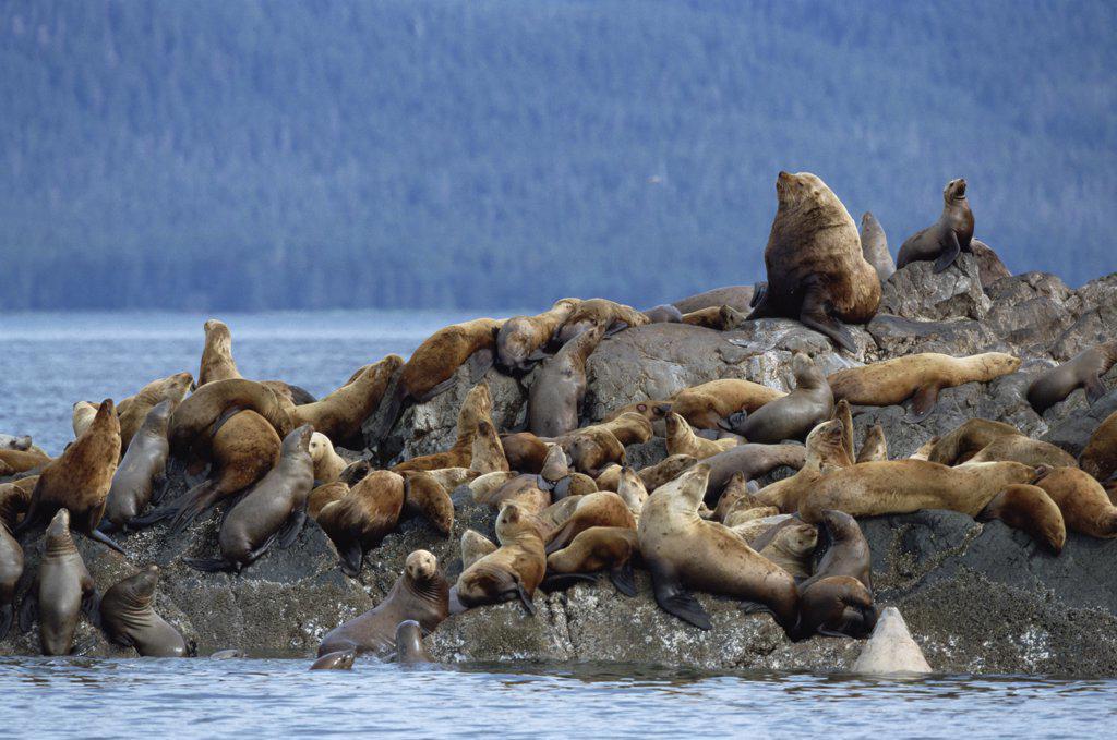Steller's Sea Lion (Eumetopias jubatus) group congregating on rock, West Brothers Island, Inside Passage, Alaska : Stock Photo